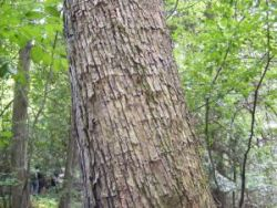 The humble Ironwood's flaky bark